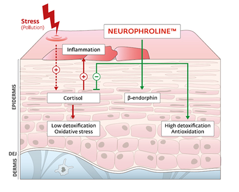 Neurophroline grafik